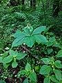 Kivertsi Volynska-Zozulyni cherevychky protected tract-Paris quadrifolia.jpg
