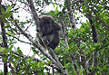 Klias Wetlands Long-tailed Macaque 01.jpg