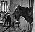 Koeien in de huiskamer in Sloten, Bestanddeelnr 905-0131.jpg