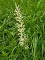Koeleria pyramidata inflorescence (09).jpg