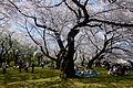 Koishikawa Botanical Gardens - hanami - march31-2015.jpg