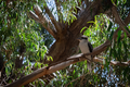 Kookaburra in the trees.png