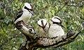 Kookaburras Maleny.jpg
