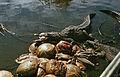 Krokodilfarm in Boca de Guamá Kuba 1972 PD 3.jpg