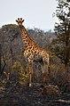 Kruger Park, South Africa - panoramio (1).jpg