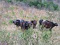 Kruger Park.- Sincerus caffer (Buffles).jpg