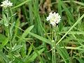 Kulykivka IMG 4668 04 Білі квіточки.jpg