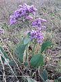 L. gmelinii (Willd.) O. Kuntze ( К. Гмеліна).JPG
