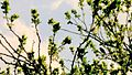 LSG0025QLB (Bode-Selke-Aue) Wedderstedt Singvogel Nachtigall 2.jpg