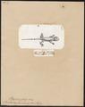 Lacerta caudivolvula - 1700-1880 - Print - Iconographia Zoologica - Special Collections University of Amsterdam - UBA01 IZ12700105.tif
