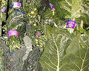 Lacinato Kale (left) with Collard greens (right)