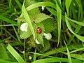 Ladybird (28014036532).jpg