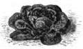 Laitue sanguine améliorée Vilmorin-Andrieux 1883.png