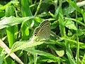 Lampides boeticus - Pea Blue at Aralam Wildlife sanctuary during Aralam butterfly survey 2020 (7).jpg
