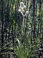 Lanaria lanata Kleinmond 03.jpg