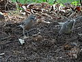 Large Grey Babblers Foraging 02.jpg