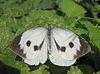 Grote witte spread wings.jpg