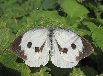 Pieris brassicae - Female