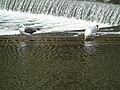 Larus fuscus y Larus argentatus.002 - Bath.jpg