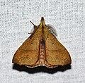 Lasiocampidae (32925759804).jpg