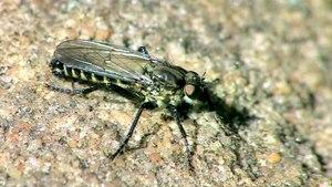 File:Lasiopogon cinctus - 2014-05-16.webm
