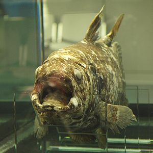 Indonesian coelacanth - A preserved specimen of Latimeria menadoensis, displayed in Tokyo Sea Life Park (Kasai Rinkai Suizokuen), Japan