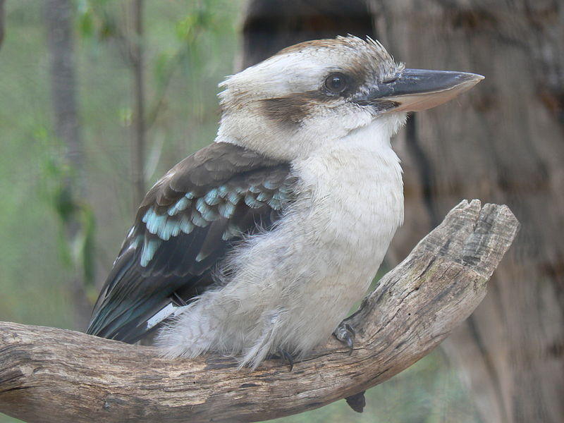 File:Laughing Kookaburra.JPG