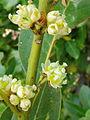 Laurus novocanariensis 002.JPG