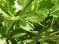 Lavandula rotundifolia (Labiatae) leaves.JPG