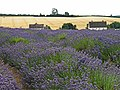 Lavender Fields (43609450092).jpg