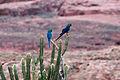 Lears macaw (2).jpg