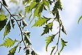 "Leaves of a ""Fagus sylvatica Asplenifolia"" tree in summer - Belfast (Botanic Gardens) 2015-08-21.JPG"