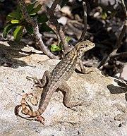 Leiocephalus carinatus armouri FL.jpg