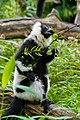 Lemur (26244806529).jpg