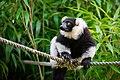 Lemur (36710218551).jpg