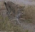 Leopard (45676645841).jpg