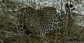 Leopard (6177720906).jpg