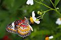 Leopard Lacewing (8043247327).jpg