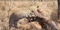 Leopard eats alive Warthog ✰Amaizing Video HD 5.png