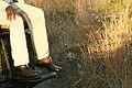 Leopard near driver.jpg