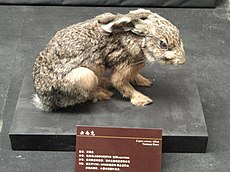 Lepus comus - Google Search - Kunming Natural History Museum of Zoology - DSC02457.JPG