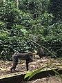 Les mandrils dans le Park de la Mefou.jpg