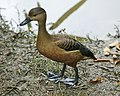 Lesser whistling duck (Dendrocygna javanica) - Flickr - Lip Kee.jpg