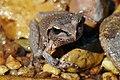 Lesueurs Frog03.jpg