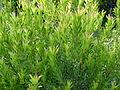 Leucadedron meridanium 2.JPG