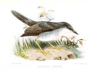 Semper's warbler - Illustration by Joseph Smit