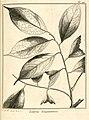 Licaria guianensis Aublet 1775 pl 121.jpg