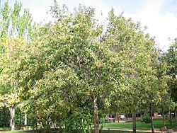 definition of ligustrum japonicum