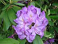 Lilac Rhododendron (8397951907).jpg