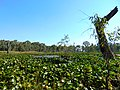 Lilies on a swamp on Gunbower Creek.jpg